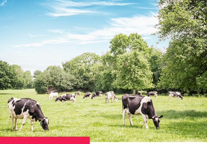 paturage et vaches normandes